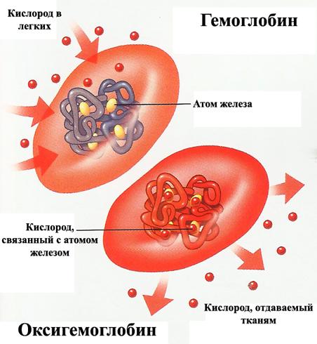 Строение эритроцита
