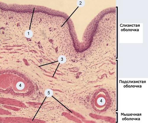 Схема эпителия
