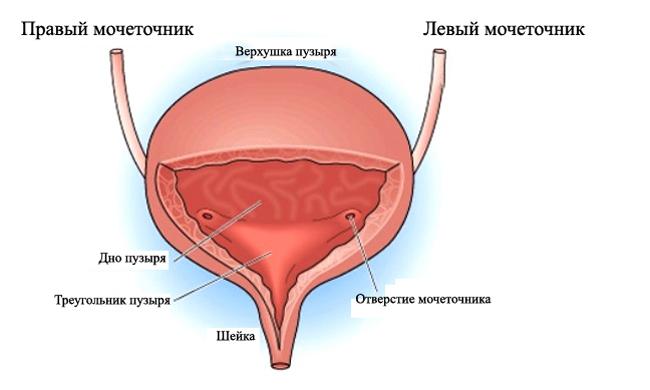 Отделы мочевого пузыря