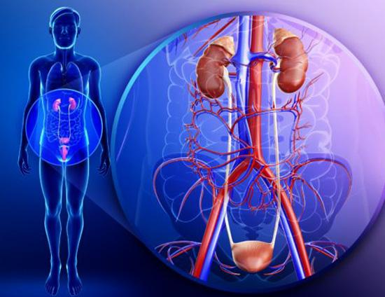 Человек и его мочеполовая система