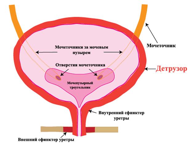 Строение мочевого пузыря и детрузор