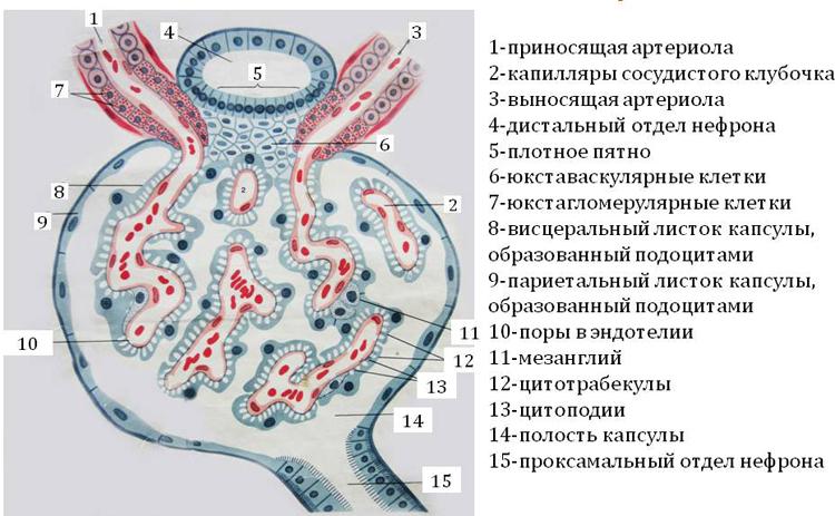 Почечное тельце
