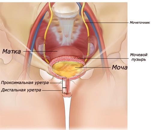 Строение уретры и мочеиспускательной системы у женщины