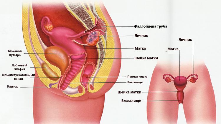 Мочеполовая система женщины